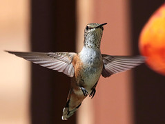 """""""Hey pal, you know we all have two parts to our brain, the 'left' and the 'right'.  Well, with your brain, on the left side, there's nothing right.  And on the right side, there's nothing left."""" (Parowan496) Tags: hummingbird canon eos 80d tamron sp 150600mm f563 di vc usd g2 a022 ƒ63 4500mm 12000 iso500 canoneos80d tamronsp150600mmf563divcusdg2a022 feeder attitude"""