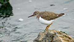 Spotted Sandpiper (Bob Gunderson) Tags: actitismacularius birds california heronshead northerncalifornia sanfrancisco sandpipers shorebirds spottedsandpiper