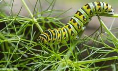 A very hungry caterpillar (Photosuze) Tags: caterpillars aniseswallowtails large eating feeding insects bugs larvae animals nature wildlife