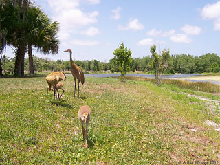 2 Adult Sandhill Cranes & 2 Chicks