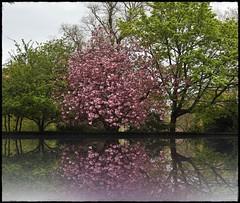 Cherry Blossom in Edinburgh (FotoFling Scotland) Tags: edinburgh gardens cherry blossum cherryblossom morayplacegardens