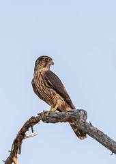 Faucon émerillon // Merlin (Alexandre Légaré) Tags: fauconémerillon merlin falcocolumbarius faucon falcon bird animal prey birdofprey wildlife nature nikon d7500