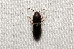 Coleoptera, Elateridae sp. (Click Beetle) - Everett, WA (Nick Dean1) Tags: animalia arthropoda arthropod hexapoda hexapod insect insecta coleoptera elateridae beetle clickbeetle washington washingtonusa washingtonstate everett