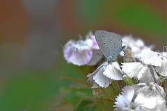 Holly Blue (Celastrina argiolus) (Andrew Cooper Photography) Tags: animal butterfly butterflies beautiful closeup colourful colour entomology flower flowers green geotagged insect macro macrophotography nature natural naturephotography new photography photooftheday summer uk wildlife wildlifephotography wild blue white floral dof pretty