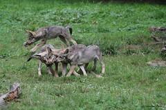 Louveteaux européens (Passion Animaux & Photos) Tags: loup louveteau europeen european wolf cub canis lupus parc animalier saintecroix france