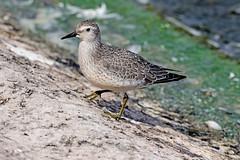Knot  juvenile (drbut) Tags: knot calidriscanutus wader water beach shore bird birds avian wildlife nature canonef500f4lisusm