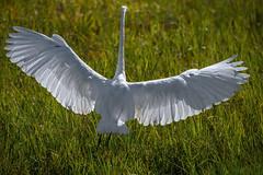 Backlit wings (bodro) Tags: bif bolsachica backlit bird birdinflight birdlanding birdphotography ecologicalreserve featherdetails greategret shallows wetlands wingspan