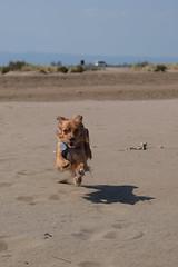 Laika corriendo por la playa (Hachimaki123) Tags: laika animal dog perro deltadelebre platjatrabucador