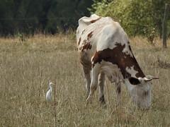 Le héron et la vache (chriscrst photo66) Tags: bird oiseau héron garde boeufs cow animal vache champ campagne arbre nikoncoolpixp900