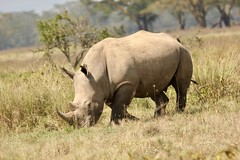 White rhinoceros (Nagarjun) Tags: lakenakurunationalpark kenya eastafrica wildlife bigfive whiterhino whiterhinoceros southernwhiterhinoceros ceratotheriumsimumsimum safari gamedrive herbivore biggame