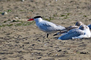 Caspian Tern, Issaquah, WA 9/5/18