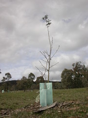 Silver wattle grazed up to 150cm high