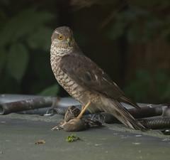 Garden killer (xDigital-Dreamsx) Tags: birdofprey hawk sparrow bird wildlife nature garden raptor