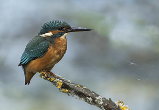 Kingfisher - Could you imagine a world without them?