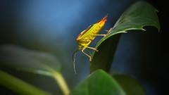 Trend for today's bug: shock colors (Stefan Zwi.) Tags: macro hawthornshieldbug wipfelstachelwanze wanze shieldbug insekt insect ngc npc