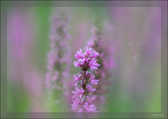 Sony A7RII with Zeiss Makro-Planar 2/100 ZE (Dierk Topp) Tags: a7rii a7rm2 ilce7rii ilce7rm2 macro sonya7rii zeissmakroplanar2100ze blumen flowers sony mood