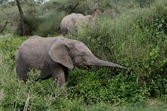 Stretch.... (Hector16) Tags: ndutu wildebeestmigration eastafrica wildlife nature migration gettyimages tanzania serengeti arusharegion tz ngc