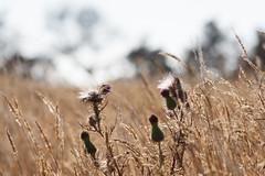 Thistley Field (Brannan!) Tags: thistle field vegetation grass nature fuzz foliage straw