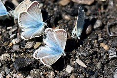 More blue butterflies (AngharadW) Tags: frenchalps macro angharadw butterflies butterfly