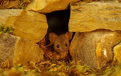 Wild garden house mouse in a stone wall (1) (Simon Dell Photography) Tags: garden mouse wild wildlife animal cute autumn seasonal fruit fruits apples acorns moss log pile fun funny awesome colorfull vivid high detail card poster simon dell photography house nature spread arms legs holding apart