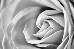 Rose (Joe_R) Tags: rose macro bw flower nature macrounlimited