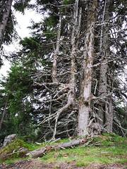 20180908Steiermark Rosenkogel01v16 Anstieg Bäume AngelikaMy (rerednaw_at) Tags: steiermark rosenkogel seckaueralpen baum angelikamy
