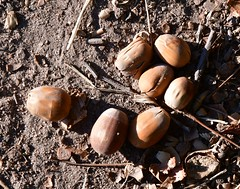 Acorns (:Linda:) Tags: germany thuringia village bürden acorn oaktree eichel seven