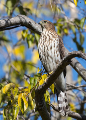 Cooper's Hawk (X89_0448-1) (Melissa Kung) Tags: coopershawk hawk raptor ardenwoodhistoricfarm fremont ca