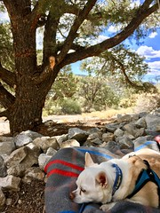 Saturday Picnic (A Wild Western Heart) Tags: billiebiscuit chien rescue deafdog hond hund perro cano cane dog chihuahua picnic firstdayoffall saturday sanbernardinomountains rosemine misslilybelle