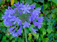 now gone for the year (Riex) Tags: violet purple agapanthus agapanthes agapanthae flower fleur blooms blossoms nature summer été backyard jardin garden california fujifilm xm1 fujinon xf 27mm pancakelens xtrans velvia