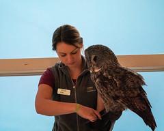 Shadow Getting Ready (lennycarl08) Tags: lindsaywildlifeexperience greatgrayowl owl raptor zoo
