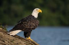 Bald Eagle (Brian_Harris_Photography) Tags: bald eagle bird raptor pennsylvania wildlife nature nikon nikkor kayak susquehanna river yellow white brown black water sunlight sunshine light exposure
