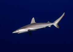 Baby Grey Reef (CM Yee) Tags: animal shark water underwater guam