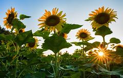 Week 19 Vision:Edge Cut Sun (arlene sopranzetti) Tags: liberty farm sandyston sussex county nj sunburst summer