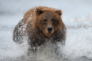 Brown Bear water rush