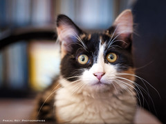 _DSC4007 (Pascal Rey Photographies) Tags: cat katze gato gatto chat chatte animaux animalerie animals animales animali tieren pascalrey nikon d700 luminar2018 pascalreyphotographies photographiecontemporaine photos photographie photography photograffik photographiedigitale photographienumérique photographierurale photographieanimalère