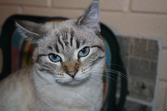 Esmé (charliejb) Tags: esmé pet cat feline 2018 kitten bristol westburyontrym fur furry furred