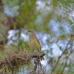White-eyed vireo (justkim1106) Tags: vireo tinybird texasbird birding nature wildlife bokeh naturebokeh texaswildlife animal songbird