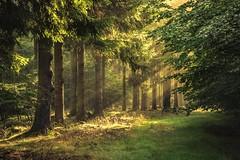 forest series #100 (Stefan A. Schmidt) Tags: nordrheinwestfalen pentaxart light sunbeam sunlight goldenhour tree trees germany