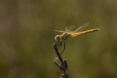 Sympetrum fonscolombii ♀ (Hachimaki123) Tags: sympetrumfonscolombii ♀ animal insect insecto odonato odonata dragonfly libélula fardelgarxal deltadelebre