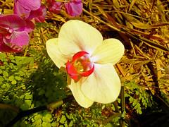 Cream Orchid (Cornishcarolin. Stupid busy!! xx) Tags: cornwall httpswwwedenprojectcom nature flowers plants orchids