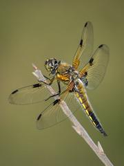 Vierfleck (Libellula quadrimaculata) 1737 (fotoflick65) Tags: linz vierfleck libellula quadrimaculata dragonfly libelle groslibelle fotoflick65 leopold kepplinger d7100 34 y2018 ym05 fd3m2 fd2b5 botanischer garten anisoptera fourspottedchaser fourspottedskimmer tamronsp150600mmf563divcusdg2 ta150600 tamronspaf150600mmf563divcusd fl400 fl400450 bof st320 st200400 f8 iso100 godoxtt685n flash segellibelle nikonnaturephotography insekt insect diamondclassphotographer flickrdiamond