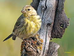 Serín verdecillo. (Serinus serinus) (9) (eb3alfmiguel) Tags: aves pajáros granívoros passeriformes fringillidae serín verdecillo serinus