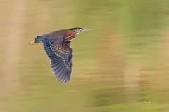 Green Heron (Mike Veltri) Tags: greenheron greenie heron birds bird avian flight nature wild burlington ontario