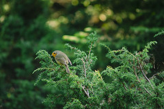 Rudzik, Erithacus rubecula (konradpoland) Tags: erithacus rubecula rudzik bird ptak wildlife wild green nature outdoor nikon d7000 d7k nikkor 70210 70210mm f4 tatry tatra polska poland europe naturephotography