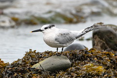 Sandwich tern (Shane Jones) Tags: sandwichtern tern bird seabird wildlife nature nikon d500 500mmf4 tc14eii