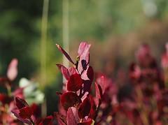 Autumn colors #autumn #autmncolors #blueberry #blueberryplant #plant #nature #norway #Halden #høyåsmarka #mzuiko40150mm #olympusnorge #omdem5mark2 #mzuiko40150pro