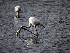 Rascandose (ibzsierra) Tags: ibiz eivissa baleares cnon 7d tamron g2 150600 natura salinas parque natural ave bird oiseau flamenco flamingo