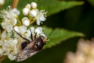 Schhh, I'm a Bumblebee! - _TNY_1544 (In Explore 7/9 2018)