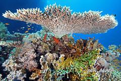 Diving Wonderworld like a tree (chk.photo) Tags: animal diving scuba water underwater dive fish ocean dolphin tauchen naturemasterclass